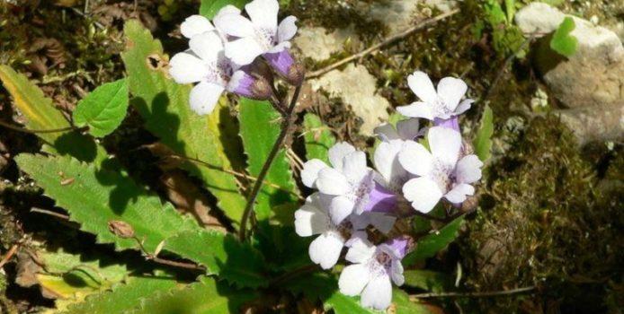 Валериана, бял риган и мечо грозде – сред забранените за събиране лечебни растения